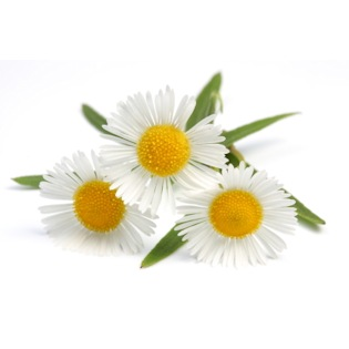 Chamomile Essential Oil